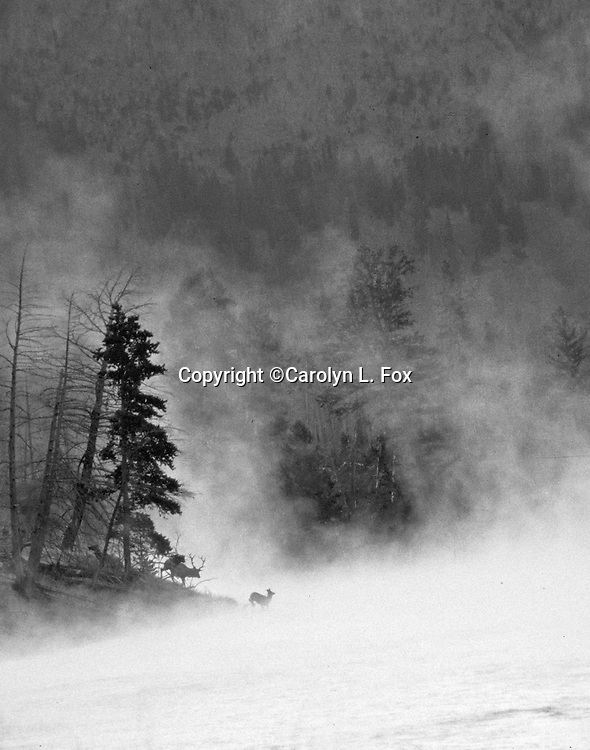 Elk come out of the woods as steam rises off the Madison River in Yellowstone National Park.