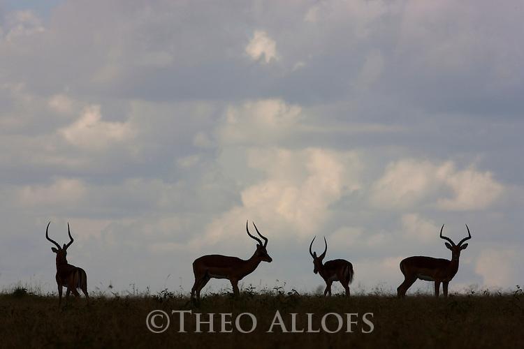 Kenya, Solio Reserve, impalas