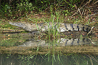 Morelet's Crocodile (Crocodylus moreletii), Belize