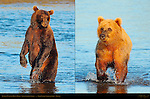 Brown Bear Composites