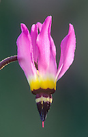 182970002 a wild padres shooting star dodecatheon clevlandii blossoms with showy pink hanging flowers in the spring in the santa monica mountains national recreation area in southern california