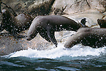Like swimmers off the blocks, northern or Steller sea lions dive into the cold northern Pacific waters in Glacier Bay National Park. They are the largest of the eared seals.