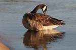 canada goose at D.L. Bliss State Park
