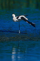 506853148 a wild american avocet recurvirostra americana performs a wing stretch in a shallow lagoon along the pacific coast in san diego county california