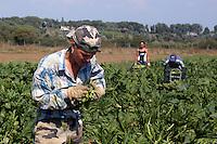 La Bagnara. Azienda agricola per la produzione di zucchine biologiche. Raccolta di zucchine. La Bagnara. Farm for the production of organic courgette.Farmers during the harvesting of courgette. .....