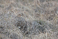 Female willow ptarmigan camouflaged in the brown summer tundra of Alaska's arctic north slope.