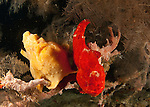 Giant Frogfish, Antennarius commersoni, The Maldives