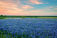 Texas Field of Blue