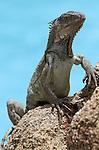 Foto: VidiPhoto..ORANJESTAD - Een yawana (leguaan) in een tuin in Oranjestad op Aruba. Veel toeristen zijn bang voor de relatief ongevaarlijke dieren, die vaak in de buurt van zwembaden verblijven. De dieren lessen dan hun dorst met het zoetwater uit de baden. De leguaan is banger voor mensen, dan andersom. Het is bovendien een van de meest voorkomende dieren op Aruba. Helemaal ongevaarlijk zijn ze echter ook weer niet. Vooral de mannetjes kunnen in de paartijd -vanaf oktober- agressief zijn en met hun staart slaat of gemeen bijten..