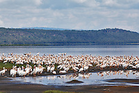 Large flock of White Pelicans, Lake Nakuru, Lake Nakuru National Park, Kenya