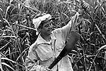 Canavieira - Birigui -São Paulo..Sugar cane - Birigui - São Paulo.