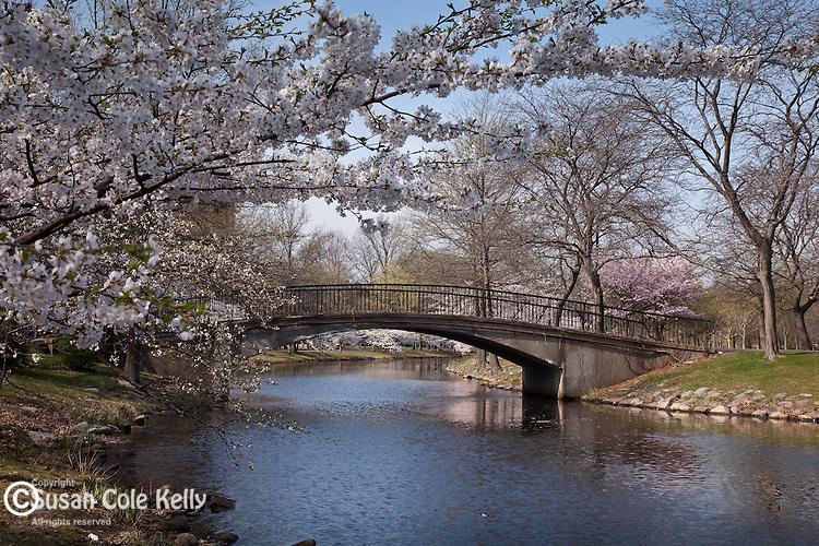 Cherry blossoms on the Charles River Esplanade, Boston, MA, USA