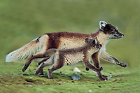 Arctic fox (Vulpes lagopus), adult with young running, Svalbard, Norway, Arctic