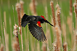 Red-winged Blackbird (Agelaius phoeniceus), courting male shows off its red shoulder patches as it takes flight in cattail marsh in spring, New York, USA