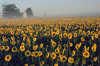Charleston, Ohio, farm field of sunflowers