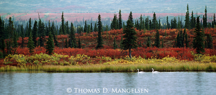 In the last weeks before their migration south, white tundra swans offer a striking contrast to the autumn hues of dwarf birch and dwarf willow.<br /> Denali National Park, Alaska