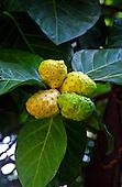 Close up of noni fruit, a Hawaiian medicinal plant