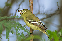 530050013 wild adult acadian flycatcher empidonax virescens perches in a tree with bug prey south padre island texas