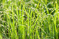 Dew covered grass in morning sunlight.