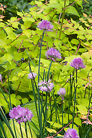 Kolkwitzia Dream Catcher and Herb Chives Allium, Hosta Gold Standard