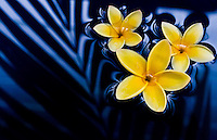 Plumeria floating in water with palm frond reflecting on water