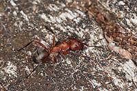 Blutrote Raubameise, Blutrote Waldameise, Raubameisen, Waldameisen, Formica sanguinea, Raptiformica sanguinea, blood-red ant, slave-making ant