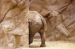 Rear end of a rhinoceros standing behind rocks at San Diego Zoo San Diego California State USA
