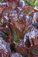 Red leaf lettuces Recoba growing