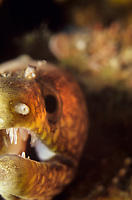 California moray eel, gymnothorax mordax.