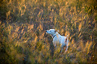 jack russell terrier standing in a field at sunset