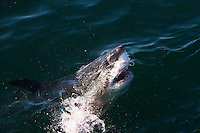 Great White Shark (Carcharodon carcharias) adult at surface with open mouth, False Bay, South Africa.
