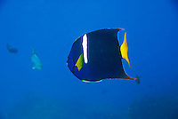 King Angelfish (Holocanthus passer) swimming, underwater view,, Ecuador, Galapagos Archipelago,