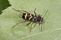Gemeiner Widderbock, Echter Widderbock, Wespenartige Färbung als Warnung, Tarnung, Mimikry, Widder-Bock, Clytus arietis, wasp beetle