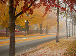 Idaho, North, Kootenai County, Coeur d'Alene. A row of golden maple and other deciduous trees along Lakeside Avenue.