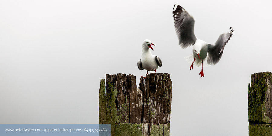 Two seagulls.  One making it clear the other is not welcome.