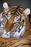 684089018 portrait of an adult siberian tiger panthera tigris altaicia  - tigers are one of only two felines that like water and they are highly endangered in their native habitat due to habitat loss and poaching mainly for the chinese medicine trade - this is a wildlife rescue animal