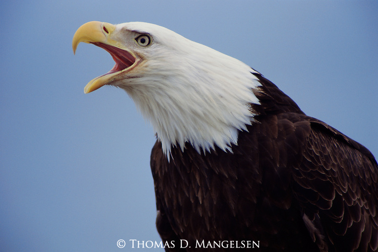 Close-up portrait of a bald eagle as it warns others with a high-pitched shriek.<br /> Southeast Alaska