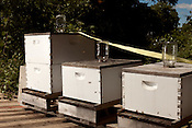 June 6, 2012. Raleigh, NC. Chad McIntyre, of Market, has had bees for a few years and keeps them on top of a shipping crate out back of his restaurant.. Several local restaurants have taken to in-house bee keeping and have started to use the fruits of their labor in some of the products they produce.