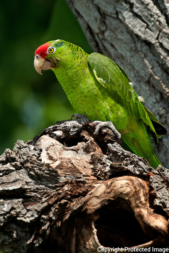 Red-crowned Parrot above its nest