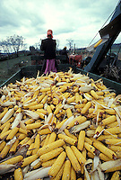 Young amish girl drives wagon harvesting yellow feed corn.
