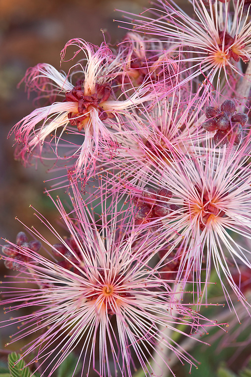 Fairy duster ( Calliandra eriophylla) blooms in the Tonto National Forest, Arizona, USA