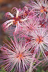 Fairy duster ( Calliandra eriophylla) blooms in the Tonto National Forest, Arizona, USA