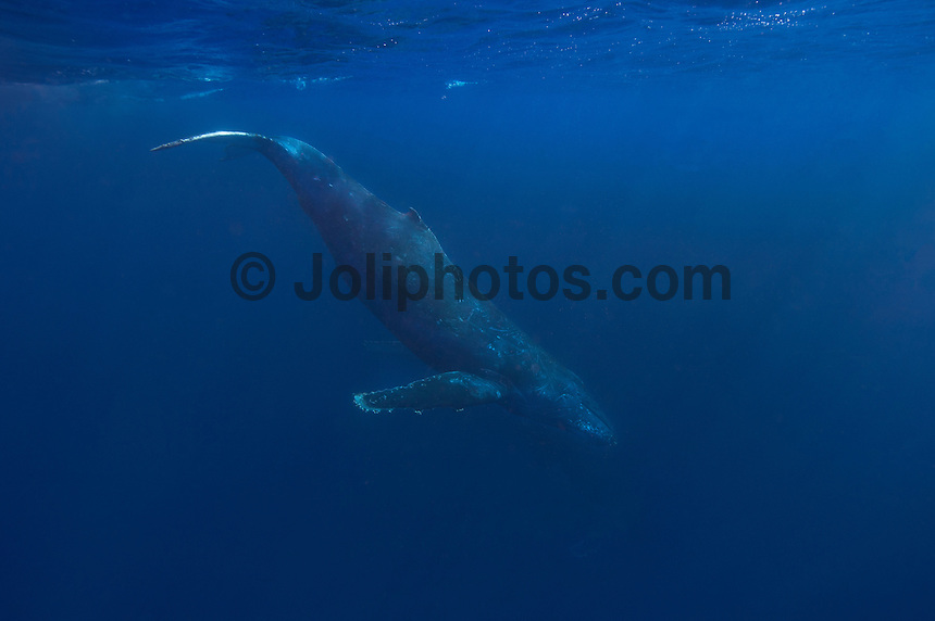 Vava'u, Kingdom of Tonga (Wednesday August 10 , 2016): A winters day with overcast skies, moderate winds and clam seas was the perfect day for a whale watching  trip and the opportunity to swim with them in the waters off Vava'u harbour.   The conditions kept most of the whales on the move today with a number of breaches. Tonga is one of the few places in the world where you can swim with these magnificent creatures. The migrating whales are generally around from June to late October with a number of births happening in the Tongan waters. Photo: joliphotos