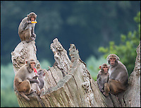 BNPS.co.uk (01202 558833)<br /> Pic: RachelAdams/BNPS<br /> <br /> A group of cheeky monkeys found the perfect way to cool down in the middle of a humid summers day - by demolishing lollies from an ice cream van.<br /> <br /> The mischievous creatures had been dozing off in the warm weather but went bananas when they heard the tinkling tune of the vehicle.<br /> <br /> They scampered over to the van and excitedly climbed all over it to get to the cold snacks with some even staring at the tempting signs as they decided what to eat.<br /> <br /> Dozens of the hungry rhesus monkeys each grabbed a fruit based lolly from the counter before enjoying them in the sunshine at their enclosure at Longleat Safari Park, Wilts.<br /> <br /> The treats were provided by ice cream seller Colin Robb, who said the playful creatures were even trying to gnaw on the plastic cones stuck to the van.