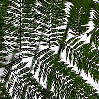 Plant History Glasshouse (formerly the Australian Glasshouse),1830s, Charles Rohault de Fleury, Jardin des Plantes, Museum National d'Histoire Naturelle, Paris, France. Detail of cyatheales showing the leaves in close up.