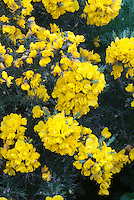Ulex europaeus 'Flore Pleno' (Gorse) AGM yellow flowers