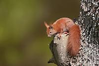 Eichhörnchen, Europäisches Eichhörnchen, Sciurus vulgaris, European red squirrel, Eurasian red squirrel
