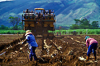 Farm workers in the process of planting cane and a farm machine further across the field.
