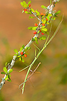 397010011 a wild pair of northern walking sticks diapheromera femorata mate on a small berry covered plant in the rio grande valley texas united states