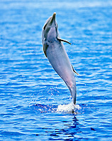 pantropical spotted dolphin, Stenella attenuata, female juvenile, jumping to shake off remora on her back, offshore, Kona Coast, Big Island, Hawaii, USA, Pacific Ocean